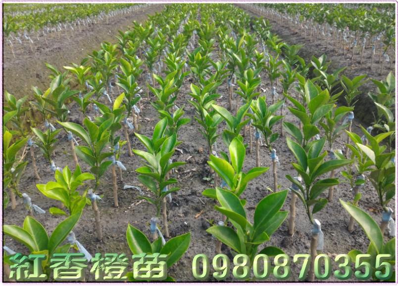紅江橙樹苗