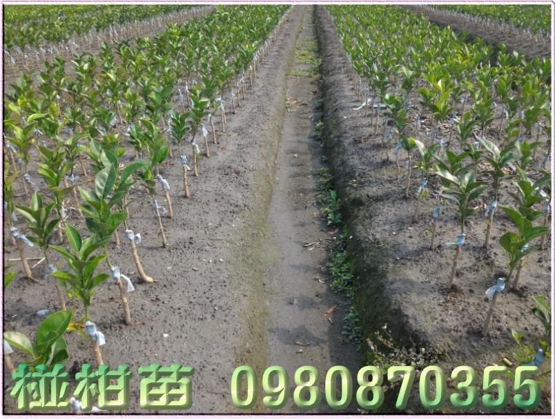 椪柑種苗,椪柑苗買賣,椪柑苗批發