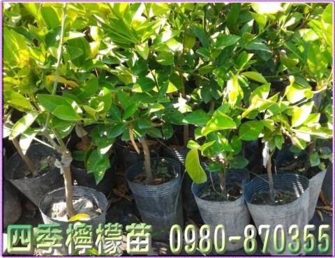 四季檸檬苗,檸檬樹苗,檸檬苗,四季檸檬苗買賣